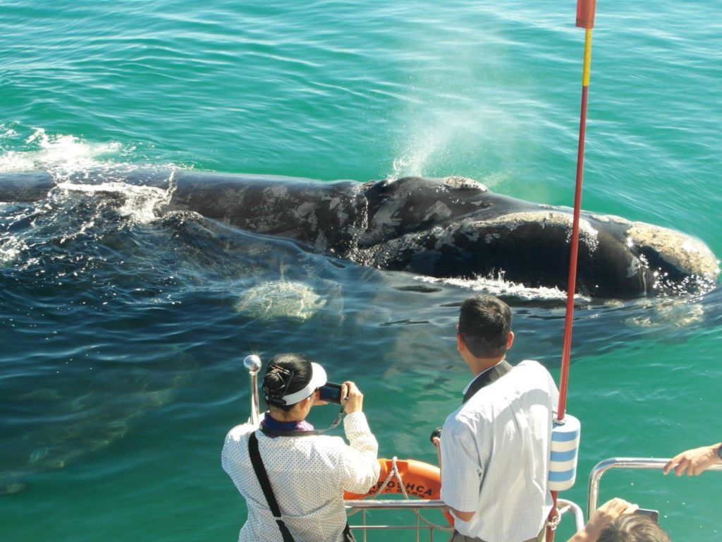 Southern Right whale viewing with Southern Right Charters