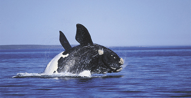 southern right whale in walker bay nature reserve