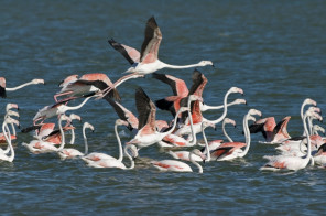 26642_agulhascoastlineflamingoes_1265535352