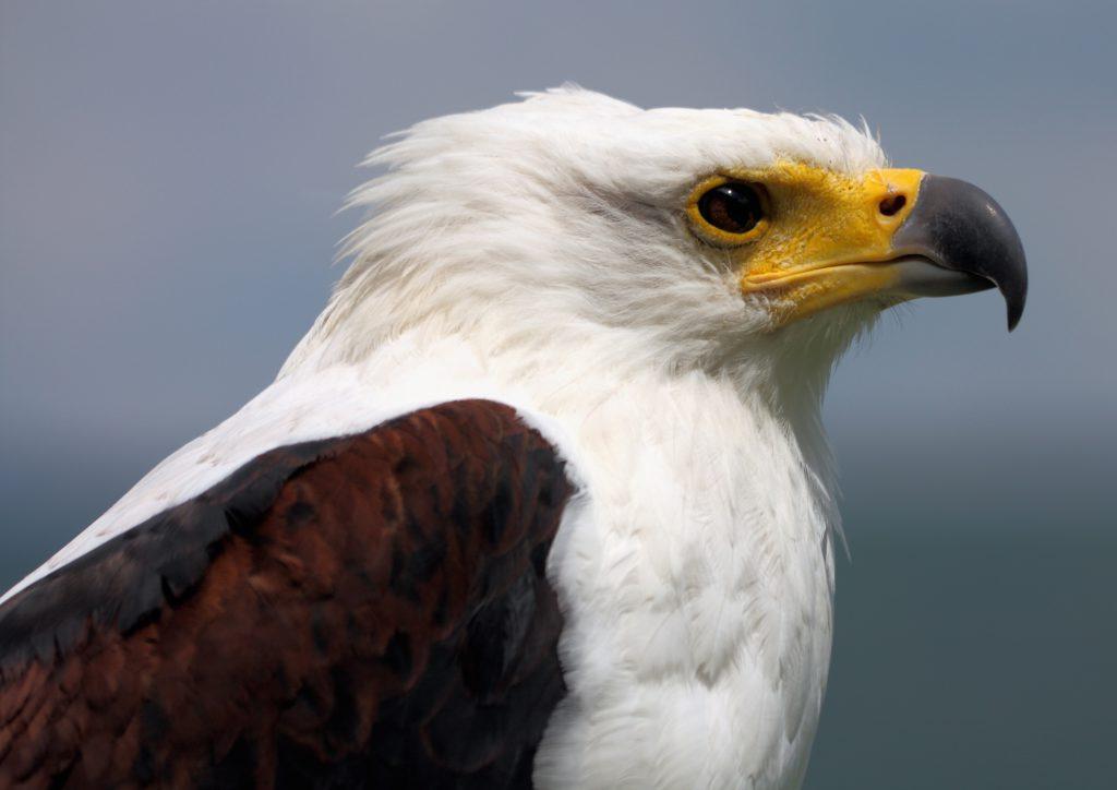 Schreiseeadler_Haliaeetus_vocifer_2_african fish eagle