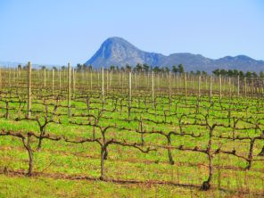 Our pinot noir vines with Babylonstoren in the background