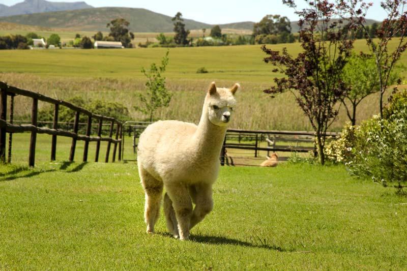 alpacas in villiersdorp